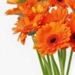 Orange gerbera daisies — Stock Photo