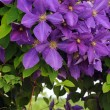 Clematis — Stock Photo #9657492
