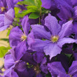 Clematis — Stock Photo #9657503