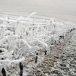 Winter vineyard, The Rhine valley, Germany — Stock Photo