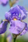 Iris blossom — Stock Photo