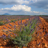 Lavender. Provence, France — Stock Photo