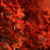 Red japanese maple leaves background — Stock Photo