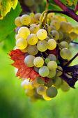 White grape — Stock Photo