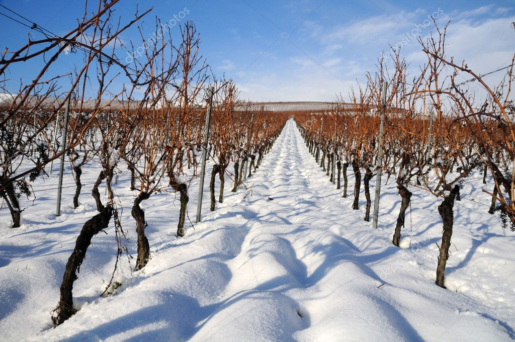 Vineyard at winter. Rhine valley, Germany  — Stock Photo #9653250