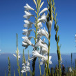 Wild white flowers. The northern coast of Madeira Island — Stok fotoğraf