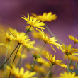 Yellow daisies — Stock Photo #9674614