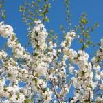 Beautiful spring flower — Stock Photo
