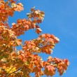 Maple leaves against a blue sky — Stock Photo