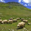 Sheeps in nature - Stock Photo