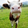 Cow animal on field — Stock Photo #9536141