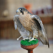 Arab falcon bird - Stock Photo