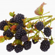 Blackberry branch - Stock Photo