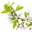 Blooming branch of plum tree — Stock Photo #8485848