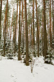 Coniferous forest in winter — Fotografia Stock