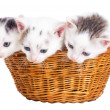 Three kittens sitting in basket — Stock Photo