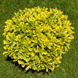 Stock Photo: Ornamental bush