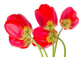 Red tulips bouquet — Stockfoto