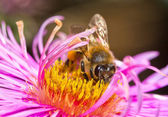 Bee on pink flower — Stock Photo