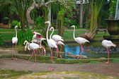 Pink Flamingos — Stock Photo