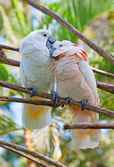 Pair of cockatoo parrots on the tree — Stock Photo