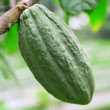 Green cacao pod — Stock Photo