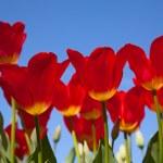 tulipani — Foto Stock #9601768