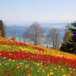 tulipani — Foto Stock #9603655