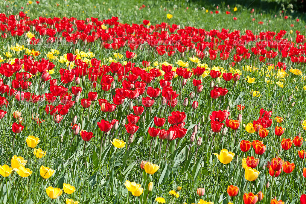Fresh blooming tulips in the spring garden  Foto Stock #9600730