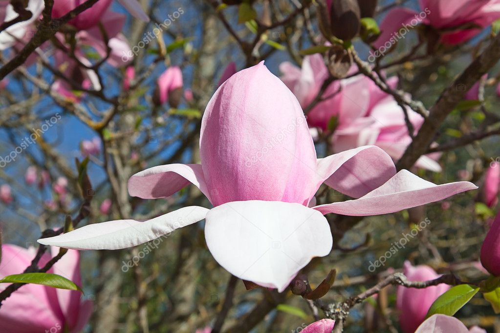 Magnificent magnolia flowers in the spring garden  Stock Photo #9601192
