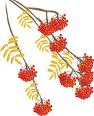 Rowanberry isolated on white background illustration — Stock Vector