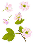 Isolated pink cherry tree flowers set — Stock Vector