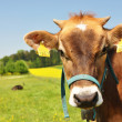 Swiss cow - Stock Photo