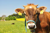 Swiss cow — Stock Photo