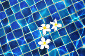 Frangipani flowers in the swimming pool — Stock Photo