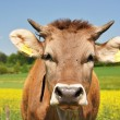 Swiss cows — Stock Photo #8300045