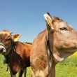 Swiss cows — Stock Photo #8300046