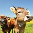 Swiss cows — Stock Photo #8300047
