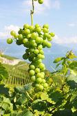 Grappe de raisin. région de lavaux, suisse — Photo