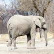 Elephant in the zoo in winter — Stockfoto