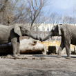 Two elephants love in zoo — 图库照片
