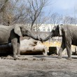 Two elephants love in zoo — Stock Photo