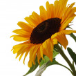 Sunflower - Stock Photo
