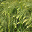 Barley — Stock Photo #8039839