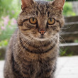 Striped gray cat - Stock Photo