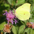 Yellow Butterfly on the grass flower. — Stock Photo