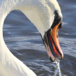 Mute Swan on water - Stock Photo