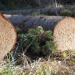 Tree trunk — Stock Photo #8041925
