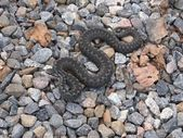 Common European Adder — Stock Photo