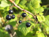 Blackcurrant in the garden — Stock Photo